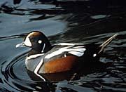 U S Fish and Wildlife Service Harlequin Duck