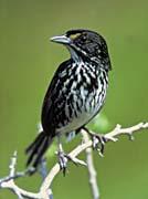 U S Fish and Wildlife Service Dusky Seaside Sparrow