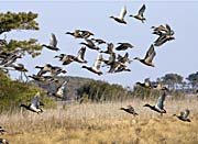 U S Fish And Wildlife Service Flock Of Waterfowl canvas prints