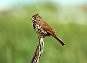 U S Fish and Wildlife Service Fox Sparrow