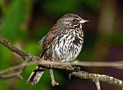 U S Fish and Wildlife Service Fox Sparrow in Tree