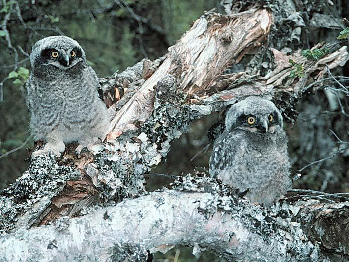 U S Fish and Wildlife Service Northern Hawk Owl Chicks stretched canvas art print