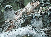 U S Fish and Wildlife Service Northern Hawk Owl Chicks