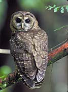 U S Fish And Wildlife Service Northern Spotted Owl