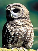 U S Fish And Wildlife Service A Northern Spotted Owl