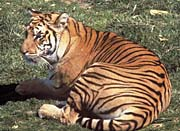 U S Fish And Wildlife Service Bengal Tiger