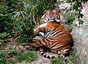U S Fish And Wildlife Service Resting Bengal Tiger