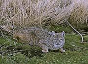 U S Fish and Wildlife Service Bobcat