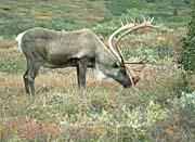 U S Fish and Wildlife Service Caribou