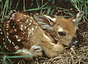 U S Fish and Wildlife Service Deer Fawn