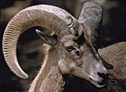 U S Fish and Wildlife Service Desert Bighorn