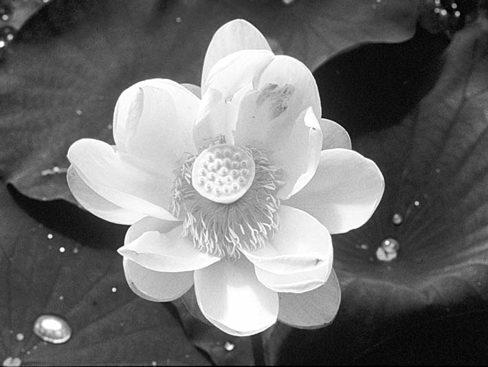 U s fish and wildlife service black and white lotus flower stretched canvas art print