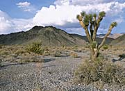 U S Fish And Wildlife Service Joshua Tree in the Desert