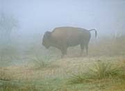 Ray Porter Buffalo in the Fog