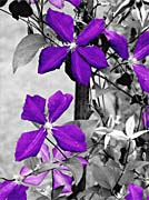 Ray Porter Purple Passion Black And White With Color canvas prints