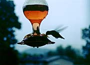 Ray Porter Hummingbird