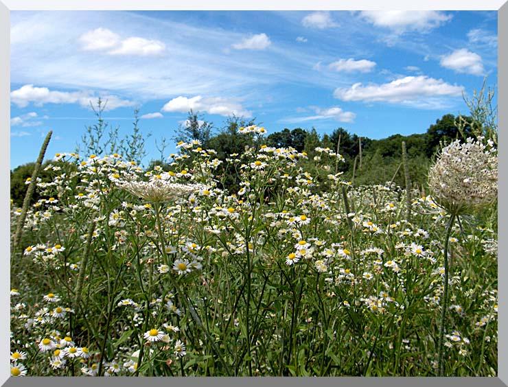 Brandie Newmon Field of Wildflowers, Easthampton Massachusetts stretched canvas art print