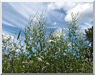 Brandie Newmon Wild Flower Field In Easthampton Massachusetts stretched canvas art