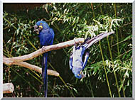 Brandie Newmon Blue Parrots Hanging Around stretched canvas art