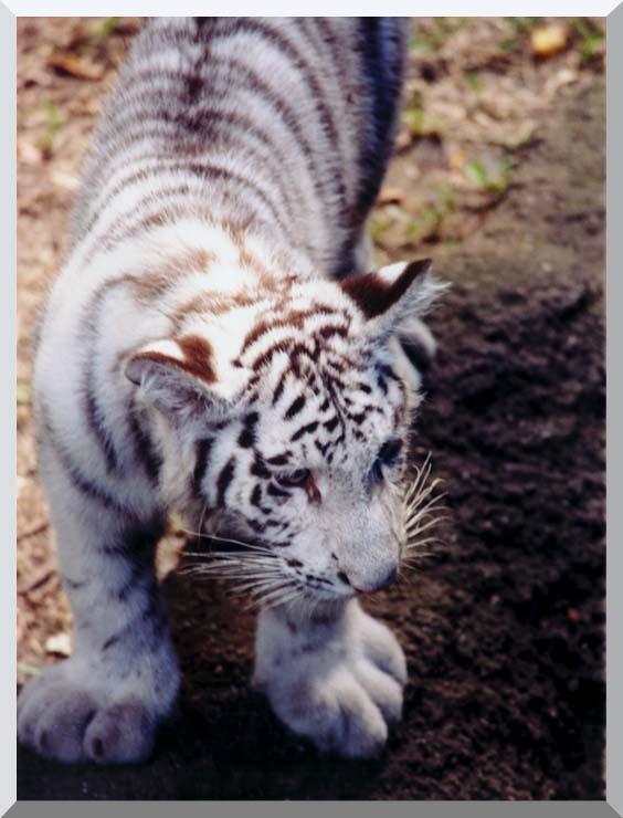 Brandie Newmon White Tiger Cub Exploring stretched canvas art print