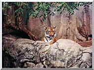 Brandie Newmon Tiger stretched canvas art
