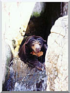 Brandie Newmon Sun Bear Cooling Off stretched canvas art