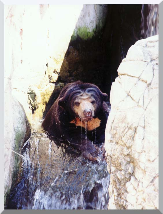 Brandie Newmon Sun Bear Cooling Off stretched canvas art print