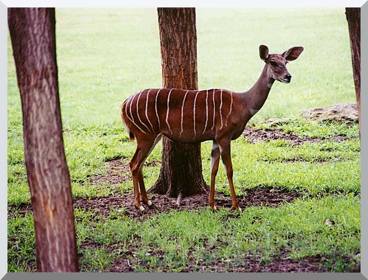 Brandie Newmon Lesser Kudu stretched canvas art print