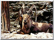 Brandie Newmon Ibex   Wild Goats stretched canvas art