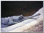 Brandie Newmon Gharial Crocodile stretched canvas art
