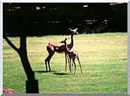 Brandie Newmon Gerenuk Antelopes stretched canvas art