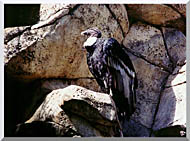 Brandie Newmon California Condor stretched canvas art
