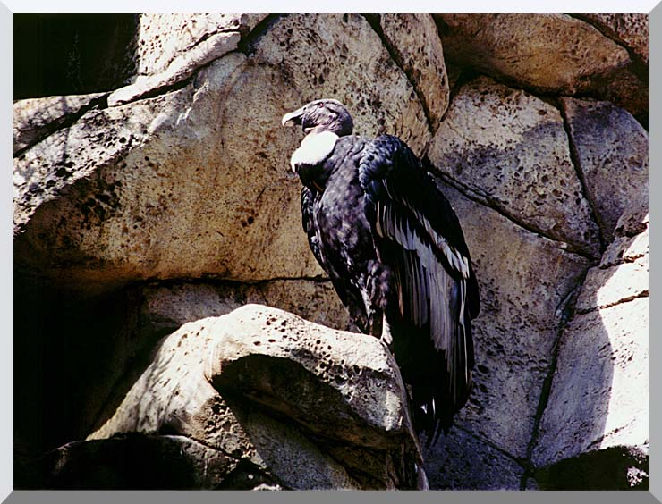 Brandie Newmon California Condor stretched canvas art print