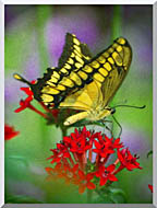Brandie Newmon Yellow And Black Butterfly stretched canvas art