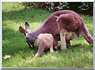 Brandie Newmon Wallaby Mother And Baby stretched canvas art