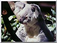 Koala Smiling Stretched Canvas Art