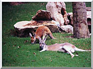 Brandie Newmon Kangaroo With Baby stretched canvas art