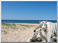 Brandie Newmon White Tigers At The Beach stretched canvas art