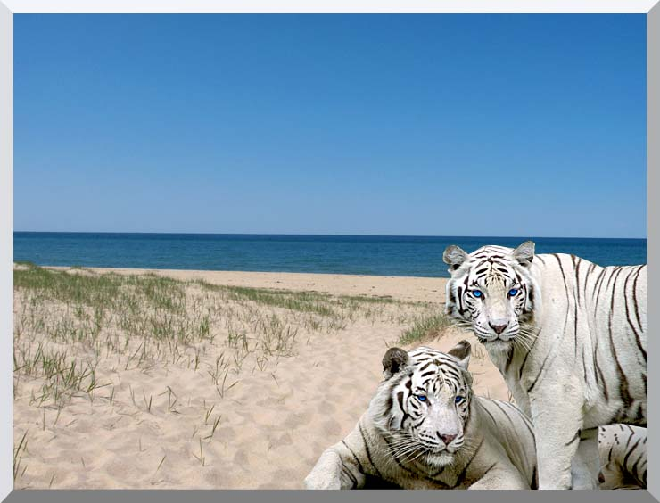 Brandie Newmon White Tigers at the Beach stretched canvas art print
