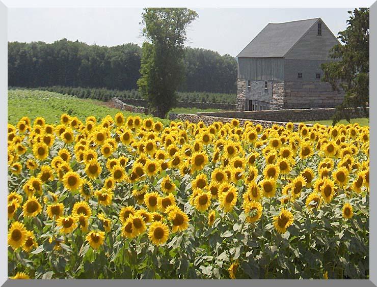 Brandie Newmon Sunflower Farm stretched canvas art print