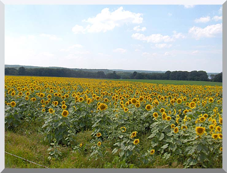 Brandie Newmon Farm with Sunflowers stretched canvas art print