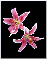 Brandie Newmon Stargazer Lily stretched canvas art