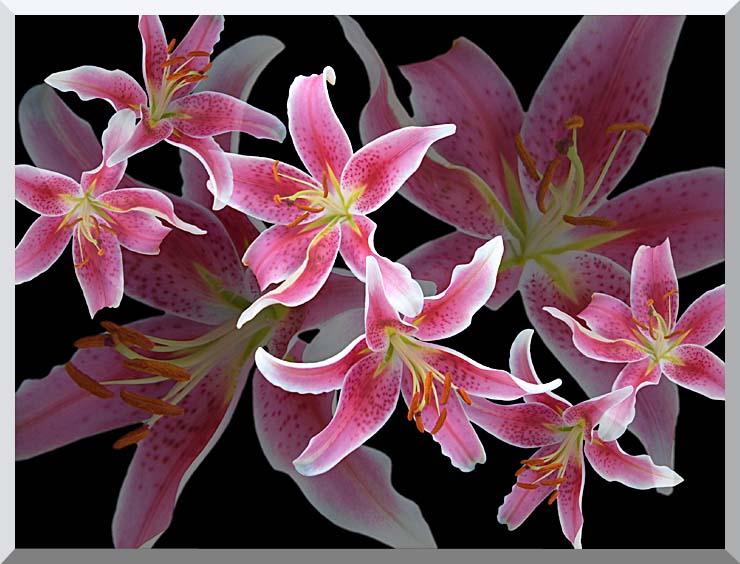 Brandie Newmon Oriental Lilies stretched canvas art print