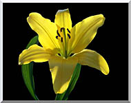 Brandie Newmon Asiatic Lily stretched canvas art