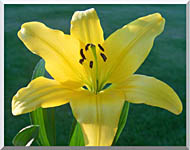 Brandie Newmon Yellow Lily stretched canvas art