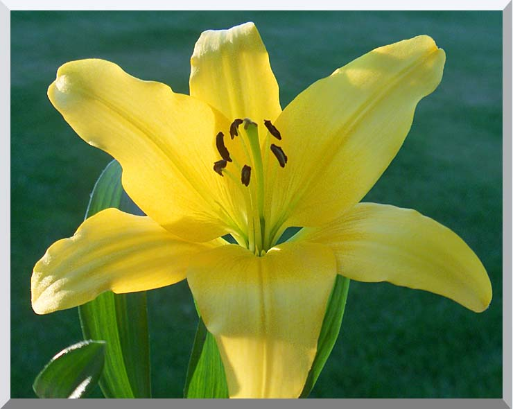 Brandie Newmon Yellow Lily stretched canvas art print