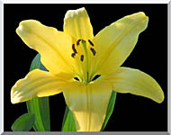 Brandie Newmon Yellow Lily Flower stretched canvas art