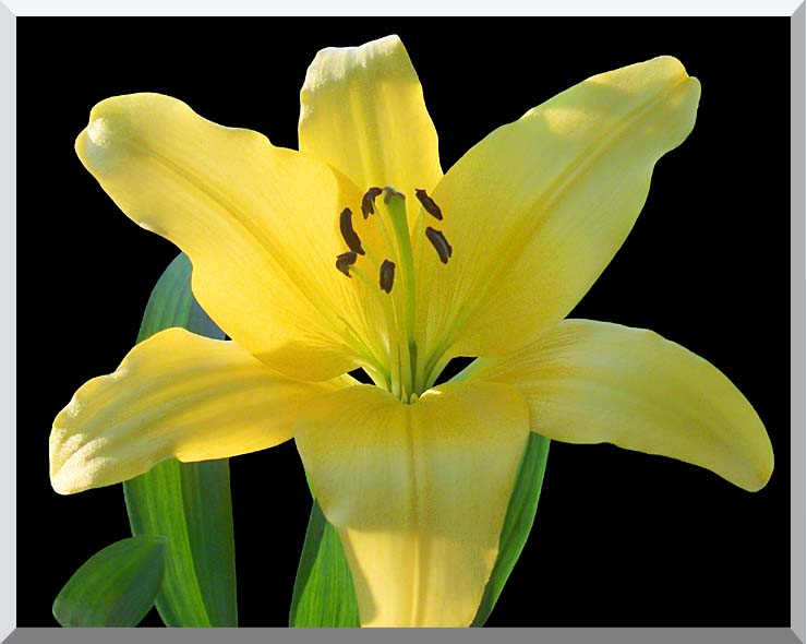 Brandie Newmon Yellow Lily Flower stretched canvas art print