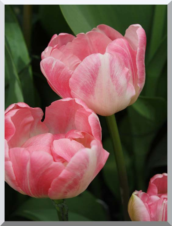 Kim O'Leary Photography Pink Tulips stretched canvas art print