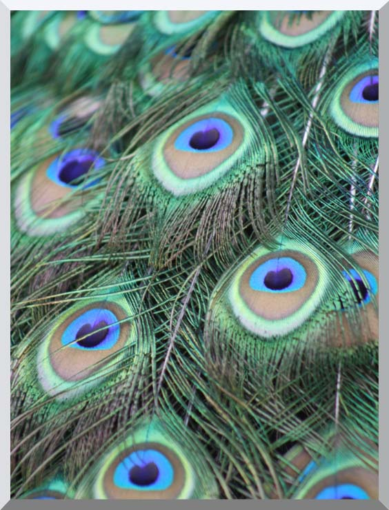 Kim O'Leary Photography Peacock Feathers stretched canvas art print